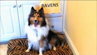 FUNNY FAILS  - DOGS FUNNY VIDEOS - SUPER BOWL PREDICTION
