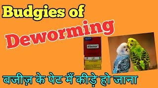 BUDGIES KI DEWORMING KESE KARWANI HAI HINDI/URDU