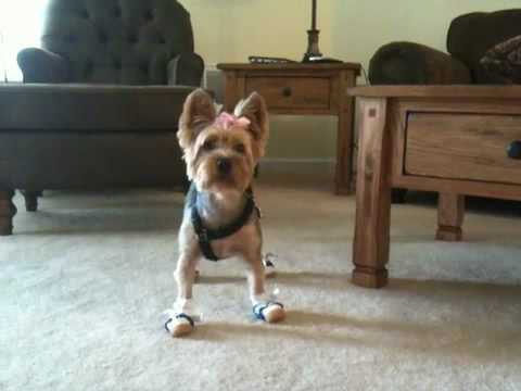 Yorkie Pebbles New Shoes Youtube