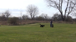 Off Leash Training With Portuguese Water Dogs