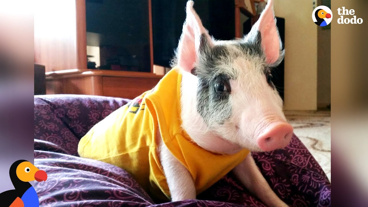 Family Moves To A Farm For Their Rescue Pig - SUNDAY   The Dodo