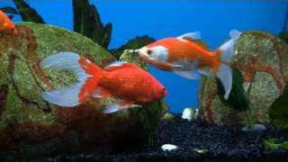 Keeping Goldfish Successfully