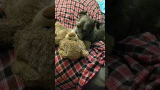 ASMR Dog Licking Teddy Bear