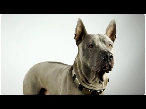 Thai Ridgeback looks incredible in War Dog Leather Canine Collar - Mighty Hound