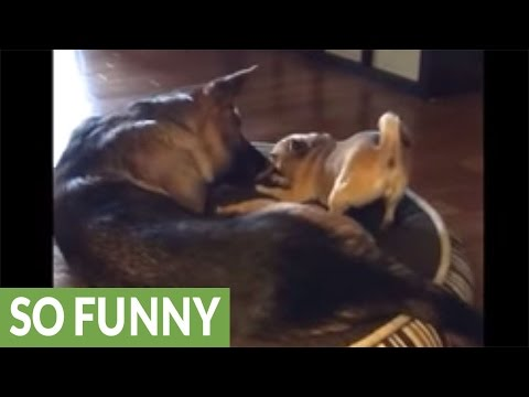 Tiny dog fearlessly challenges German Shepherd to tug-of-war