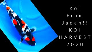 Koi From Japan (Harvest 2020) SelectKoi.com