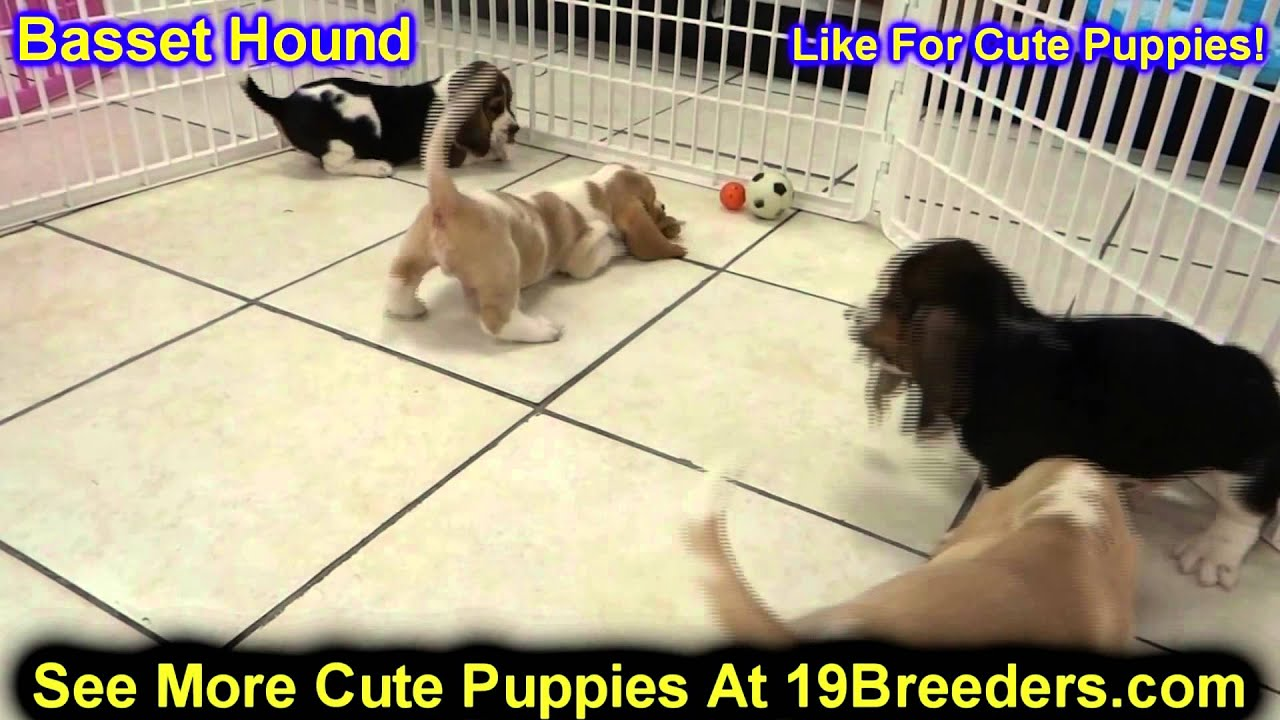 Basset Hound Puppies For Sale In Gresham Oregon County Or