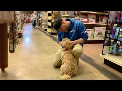 Best Dog Training Toledo, Ohio! 6 Month Old Mini Australian Labradoodle, Luna!