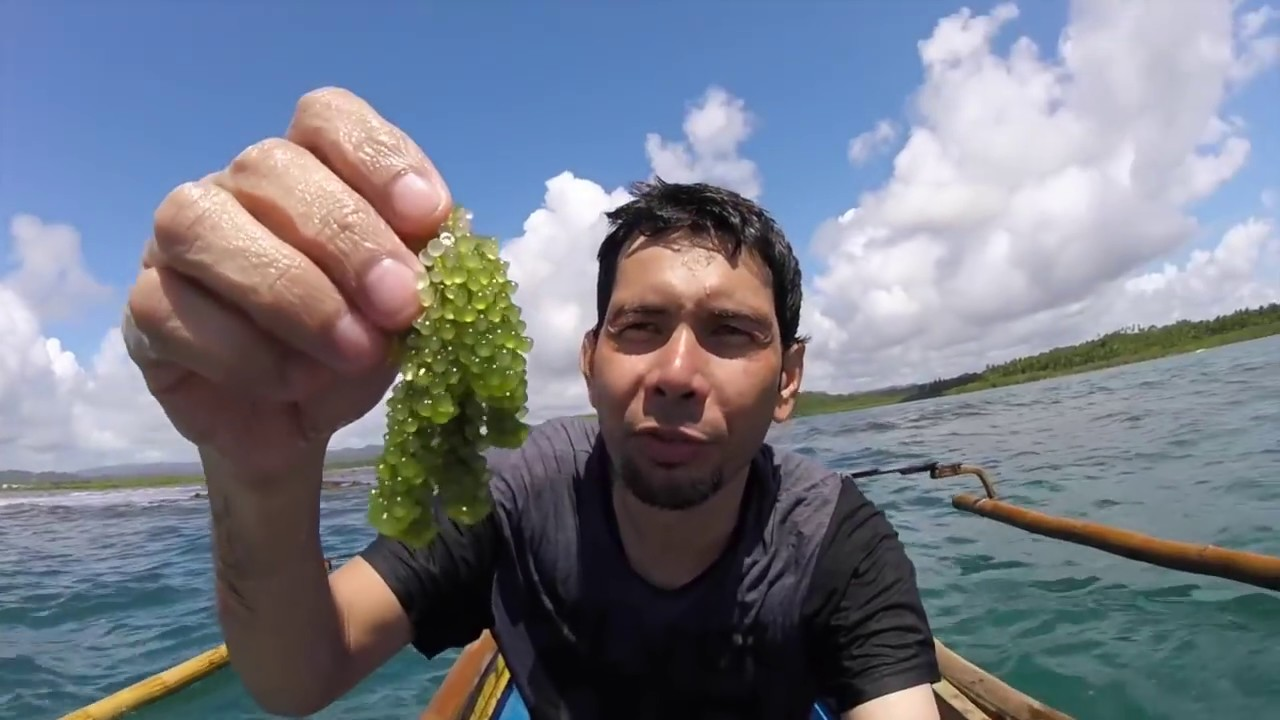 Download Harvesting Sea Grape (Latu, Lato) - Borongan City