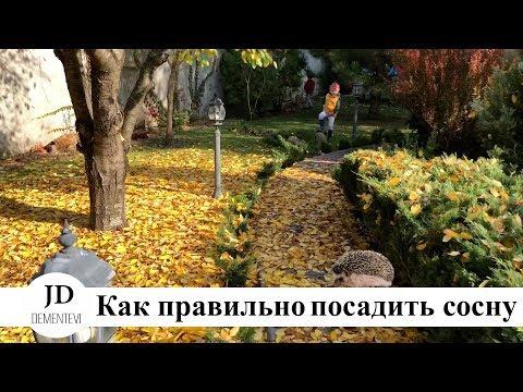 VLOG: Как правильно посадить сосну на участке