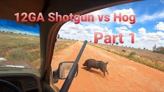 12GA Shotgun vs Hog. Part 1 of 2