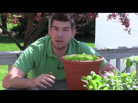 How to Grow Lettuce in Containers - Complete Growing Guide