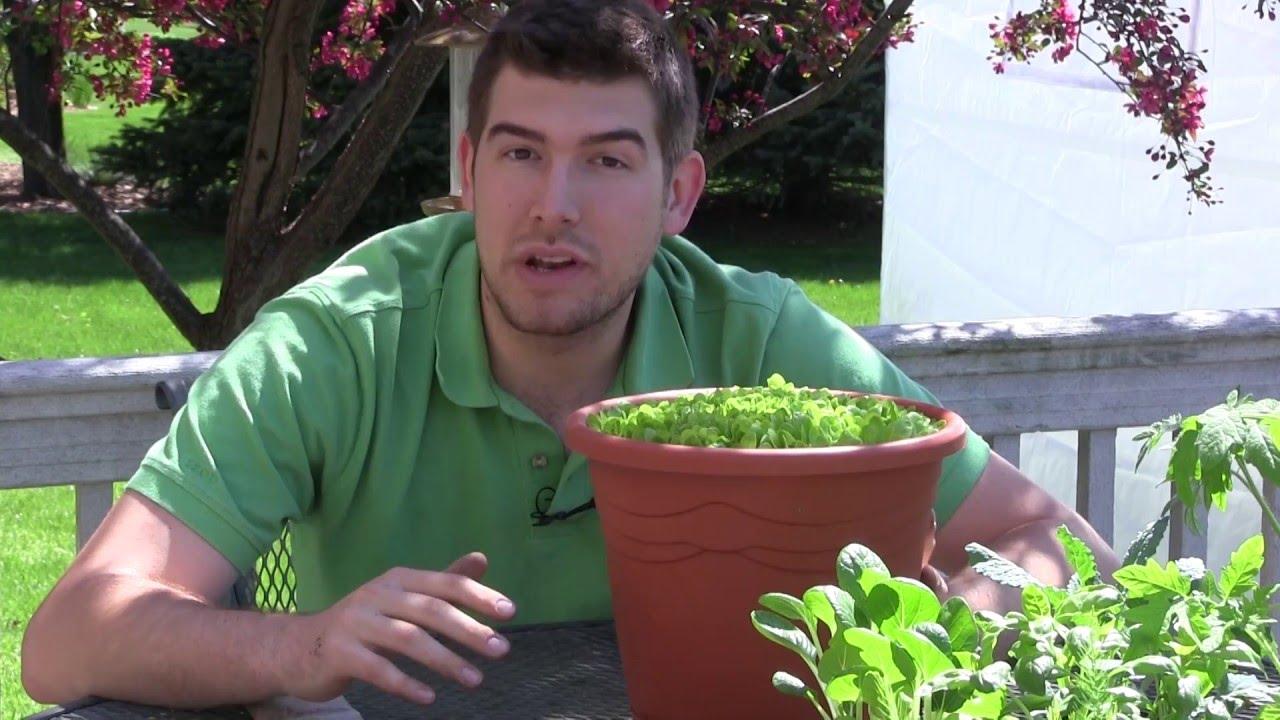 Growing lettuce in a pot - Growing Lettuce In A Pot 52