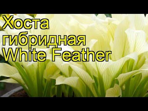 Хоста гибридная White Feather. Краткий обзор, описание характеристик, где купить саженцы