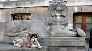 Самая дружелюбная собака - Аляскинский маламут / породы собак