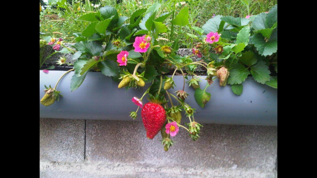 Cultivo de fresas en canalon  YouTube
