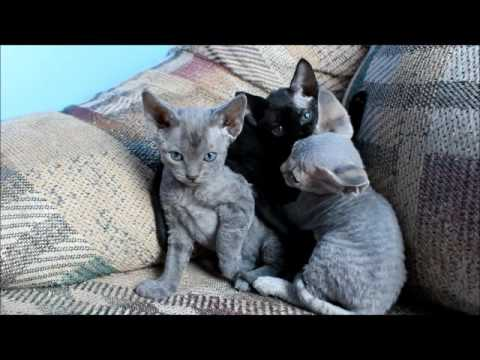 5 week old Devon rex kittens being adorable