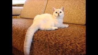 Продажа! Британские кошечки золотая и серебристая шиншилла-поинт. Питомник Greycat www.grey-cats.ru