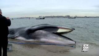 Baixar Beached whale found at Breezy Point, New York - New York Post