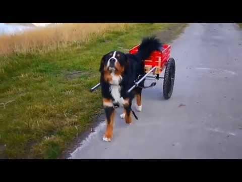 Bernese Mountain Dog 'cart pulling'