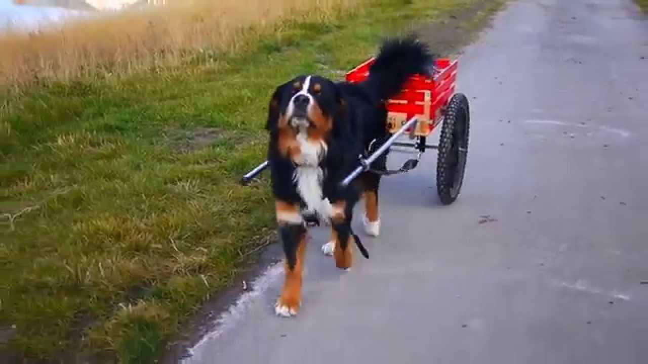 Bernese Mountain Dog Cart Pulling Youtube