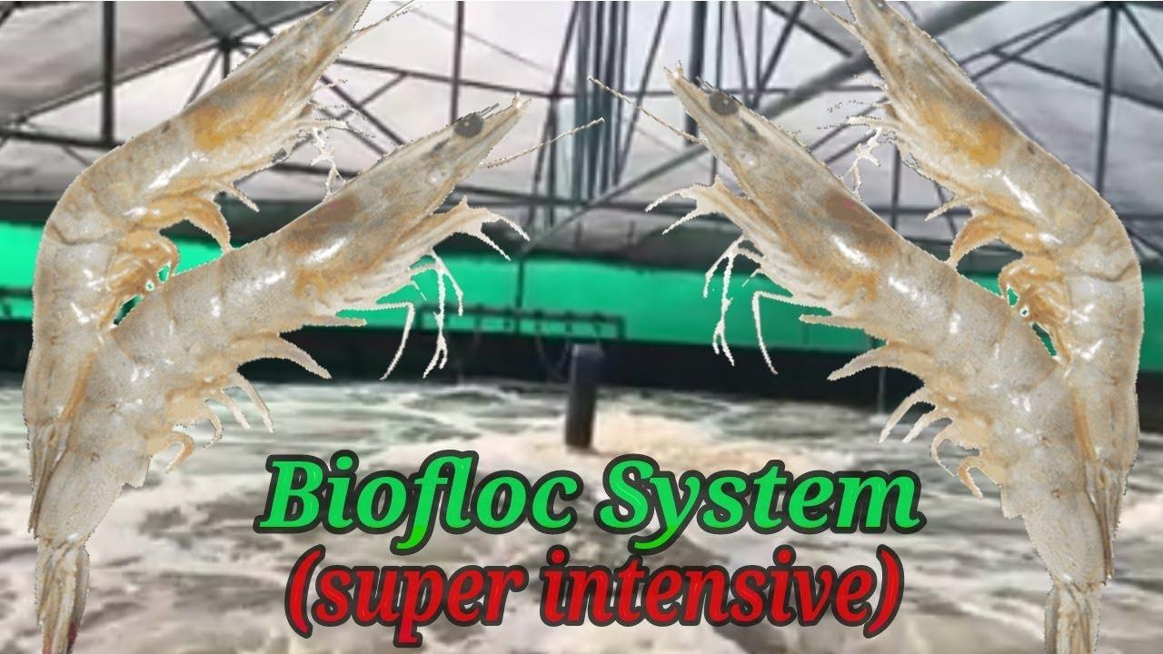 Super Intensive Biofloc Shrimp Farming | Vannamei Farming