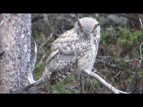 Great Horned Owl in Yellowstone