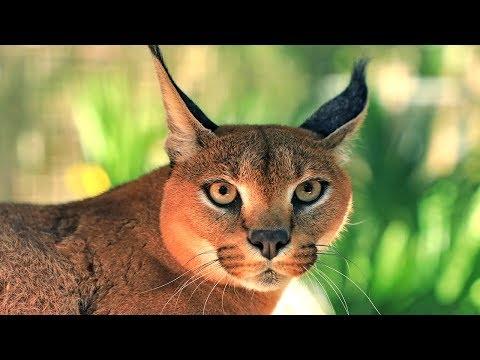 Cutest Big Cat Sound