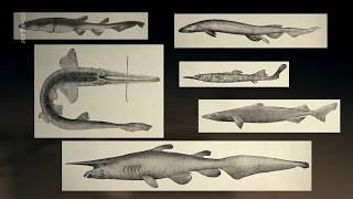 Fantômes des grands fonds - Requins des profondeurs