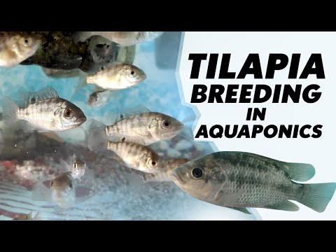 TILAPIA BREEDING IN AQUAPONICS