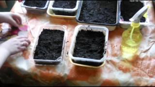 Как сажать семена цветов!
