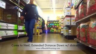5-Year Old Dachshund , Jessye!  Dachshund Dog Training | Electronic Collar Training