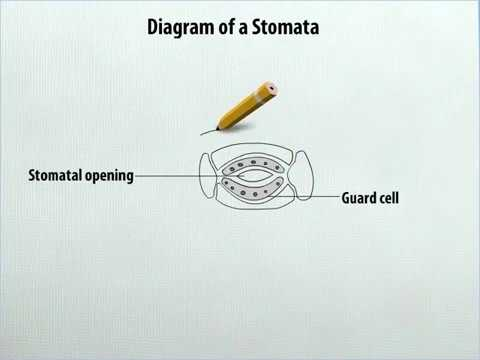 Class 7 Science Diagram Of A Stomata Youtube
