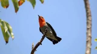 Download Mp3 Suara  Burung Kemade Cabean Pikat