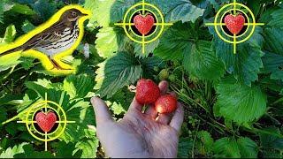 СПАСАЕМ ОГОРОД ОТ ПТИЦ 🐤Советы: Как Спасти Урожай 🍓 Клубники от Дроздов