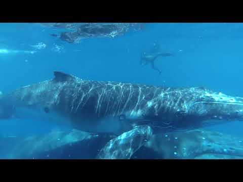 Tonga whales (Team Trip)