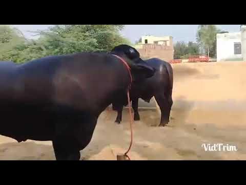 All India champion RUSTAM BULL GATAULI