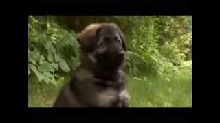 Dogs 101   German Shepherd_animal Planet