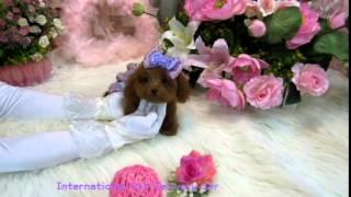 Brand Hermes(name)pocket Teacup - Super Tiny Teacup Poodle