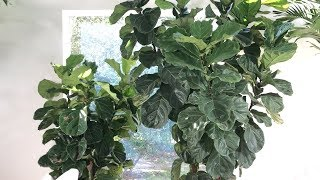 "Fiddle Leaf Fig ""Almost"" Complete Care and Tip Guide"