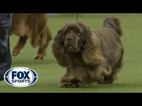 Bean the Sussex Spaniel wins the 2019 Westminster Kennel Club Dog Show Sporting Group | FOX SPORTS
