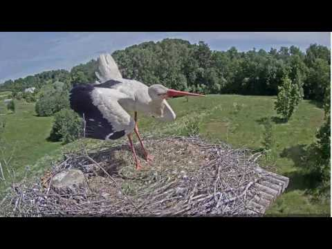 Stārķa ligzda Latvia 2017-06-24 Male back, claps and looks or woman is coming back.11:32