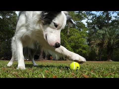 Dog Tricks - Amazing Dog Tricks with Mr Biscuit the Border Collie
