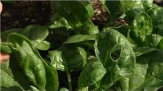 Growing Greens : How to Raise Spinach