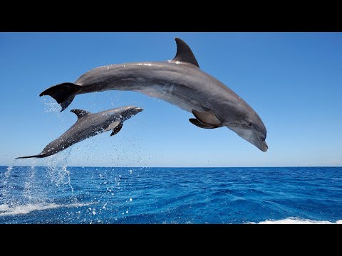Amazing Wild Dolphins doing Spinner Jumpings - Funny Videos
