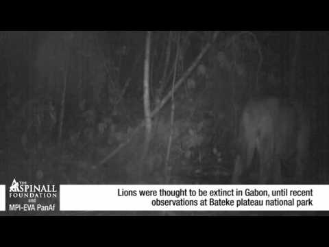 Incredible new footage of lion, thought to be extinct in the Gabon
