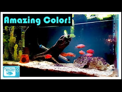 Jewel Cichlid Breeding And Care