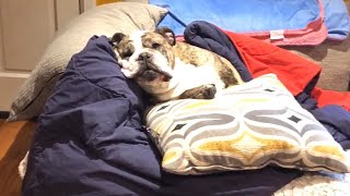 Bulldog Throws Epic Tantrum, Mouths Off To His Mother