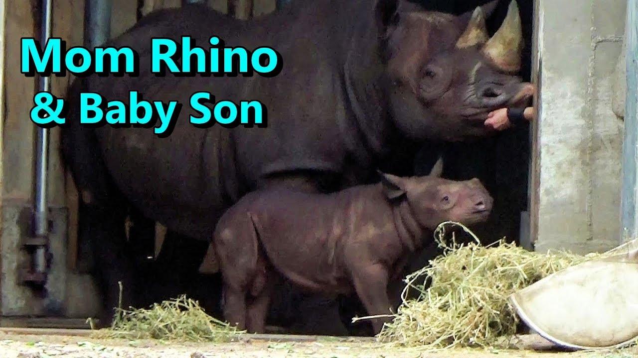 Eastern Black Rhinoceros Baby & Mother 🦏 Lincoln Park Zoo June 26 2019