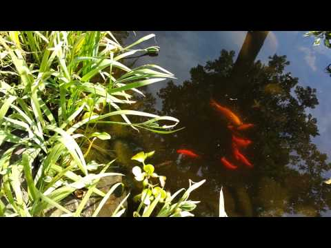 My Koi Are Eating My Plants!
